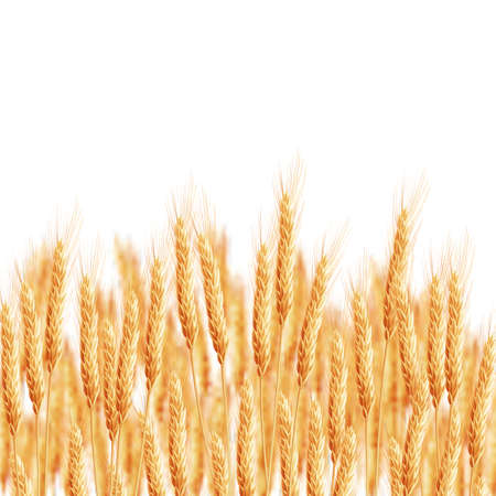 wheat field: Wheat ears with space for text.