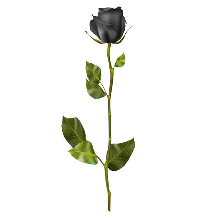 corolla: Realistic Black rose isolated on white.