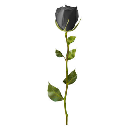 stems: Realistic Black rose isolated on white.