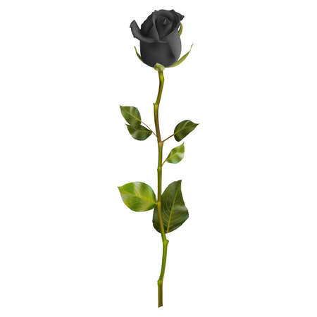 one of a kind: Realistic Black rose isolated on white.