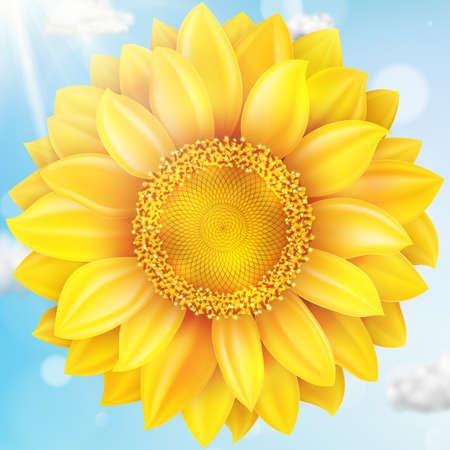 flower fields: Sunflower with blue sky - autumn.