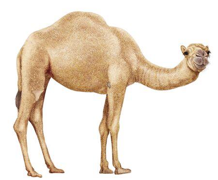 camel realistic illustration