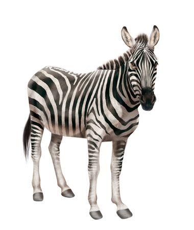 Zebra illustration realistic design 免版税图像