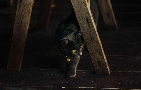 ิิblack cat in thailand