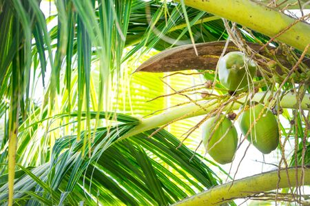 Bunch of fresh green coconuts on a palm in the Maldives 版權商用圖片