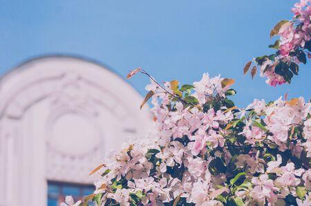 Blooming pink apple tree in spring beside building and blue sky 版權商用圖片