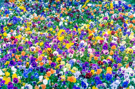 Field of colorful pansies, natural pattern background