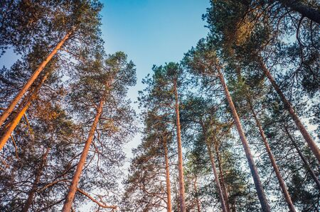Bottom view of tall pine trees at sunset with clear blue sky
