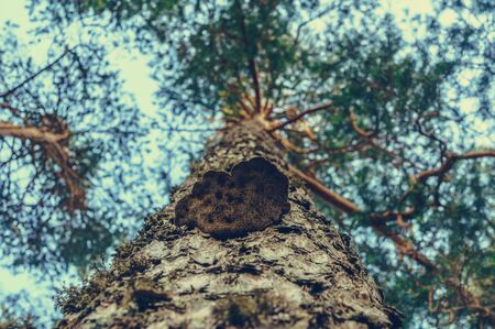 Trunk of pine tree with growing timber fungus. Bottom view.