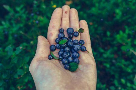 Female hand holding blueberries above bushes full of berries
