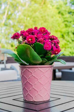 Kalanchoe flower in pink flowerpot standing on wooden table