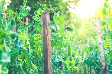 Young green pea plants growing on plantation in the sunlight