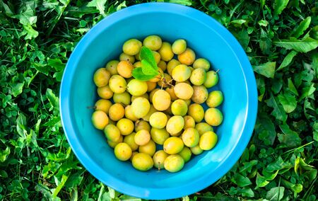 Yellow fresh ripe plums in blue bowl standing on green grass 스톡 콘텐츠