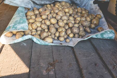 Pile of fresh harvested potatoes lying on wooden floor in a shed 版權商用圖片