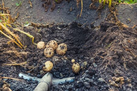 Digging up bunch of raw fresh potatoes from soil with a shovel