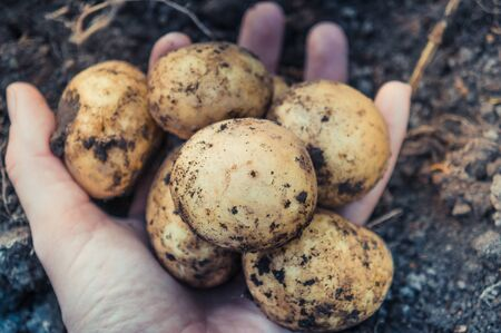 Holding bunch of raw freshly dug up potatoes in female hand