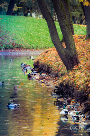 Flock of city ducks resting in water of park canal in town