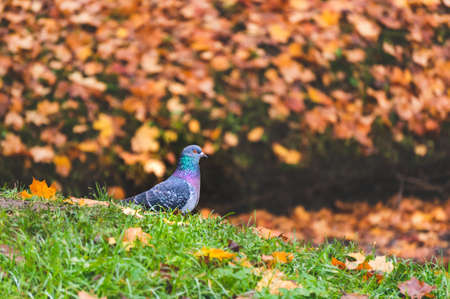 One pigeon standing on grass in autumn landscape with fallen leaves