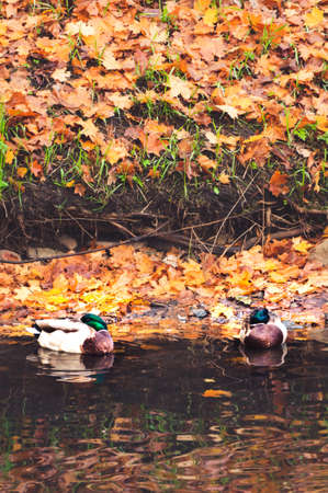 Couple of city ducks resting near bank of pond in autumnal background of fallen maple leaves