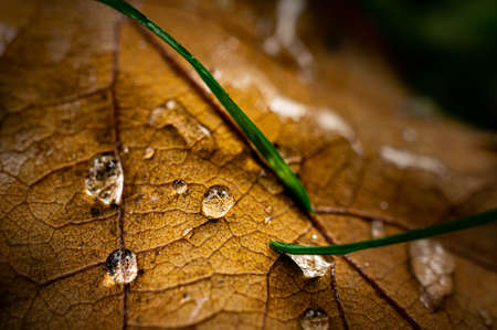 Macro image of oak tree leaf covered with water drops and blades of grass