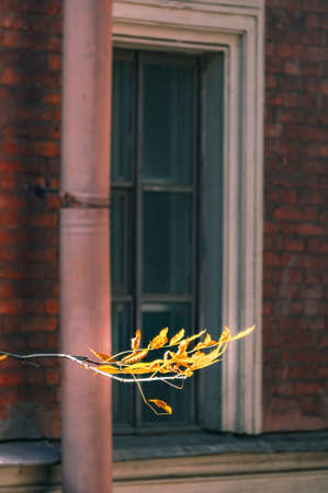 Branch of tree with yellow leaves in autumn against building window
