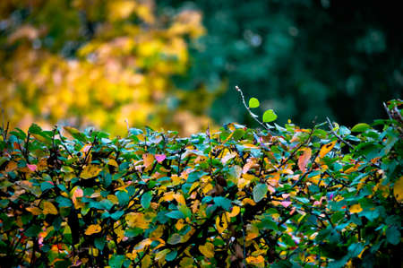 Background of neatly manicured bushes covered with colorful leaves in autumn