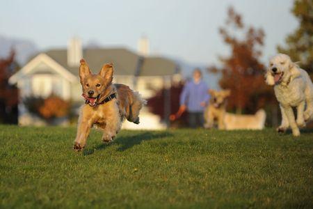 perros jugando: Buscando una bola de perros Foto de archivo