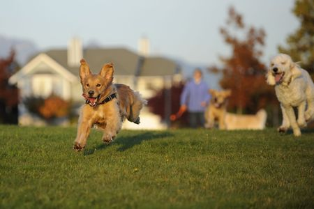 dog running: Dogs Chasing a Ball Stock Photo