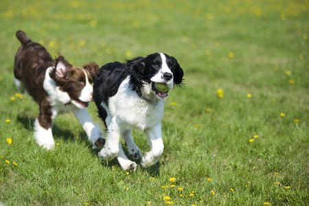 perros jugando: Dos perros jugando persecuci�n Foto de archivo