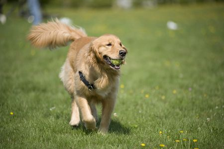 harness: A Golden Retriever prances through a field of daisies with a tennis ball in his mouth.