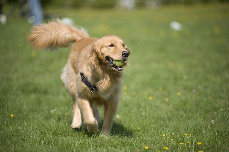 A Golden Retriever prances through a field of daisies with a tennis ball in his mouth.