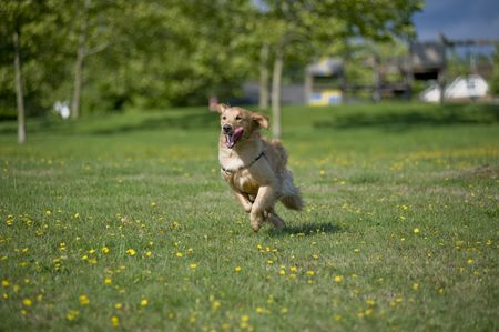 running nose: A Golden Retriever runs through a field of grass and daisies. His tongue is hanging out.