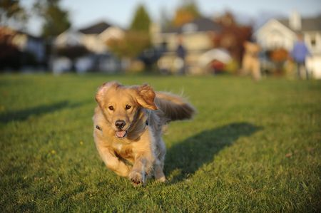 dog eating: A young Golden Retriever runs towards the position of the camera in a field of green grass.