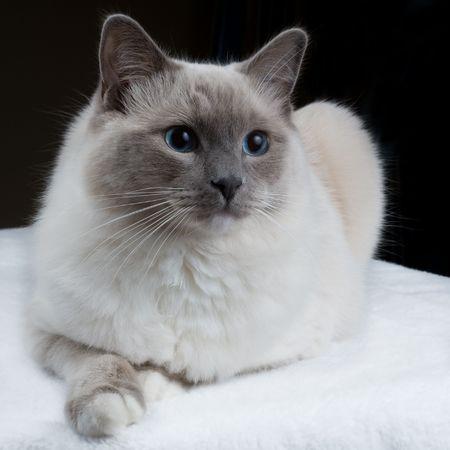 A single Ragdoll mittens cat looks away from the camera. Фото со стока