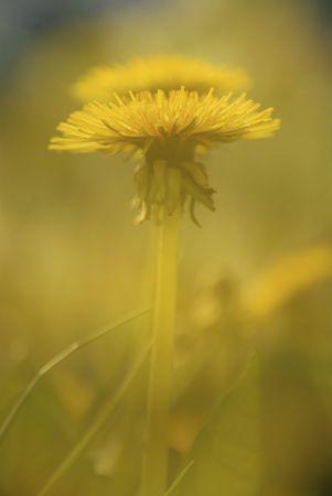 A single in-focus Dandelion is behind a yellow dandelion haze. Фото со стока