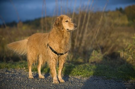 pure bred: Golden Retriever stands on a gravel trail. Brown grasses and storm clouds appear in the out focus background.