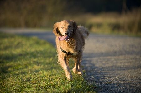pure bred: Golden Retriever runs in the late afternoon run on a gravel trail. His tongue is hanging out of his mouth. He is wet. Stock Photo
