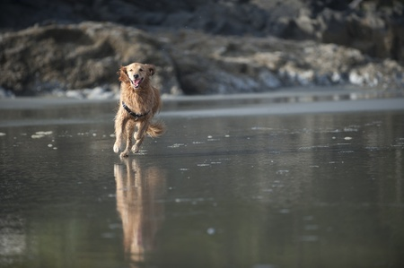 be wet: Wet Golden Retriever runs on a sandy beach in the direction of the camera. An outcropping of rocks can be seen out of focus in the background. Stock Photo