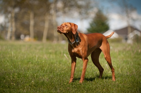 Vizsla stands at alert in a grass field in a park. Stock Photo - 10718929
