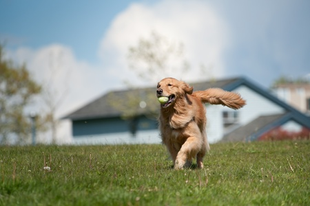 golden retriever: A golden retriever runs in a green grass field carrying a tennis ball in his mouth. Residential homes are out of focus in the background as is a cloudy sky. The moves towards the left of the frame.