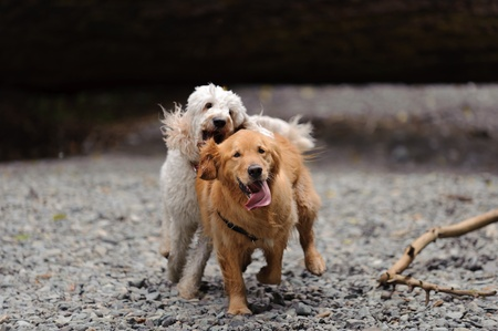 A golden retriever looks directly at the camera as he runs towards it. A white golden doodle chases him and looks as if she will grab his ear. They are running in a dry river bed on gravel.