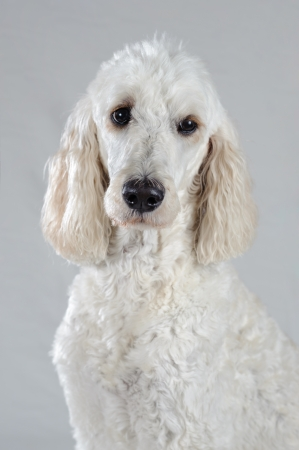 A white Golden Doodle is posed isolated on a grey background. She is white except for her ears. She looks similar to a standard poodle. Stok Fotoğraf