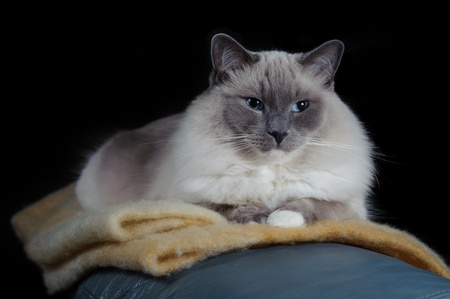 ragdoll: A Ragdoll cat sits on a blanket. He is on a black background. Stock Photo