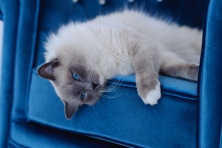 ragdoll: A purebred Ragdoll cat lays on his side on the cushion of a chair. The cats eyes are blue and the chair is a similar blue. The cat looks at the camera. Stock Photo