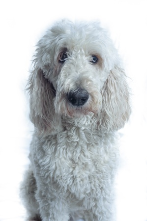 clearly: A Golden Doodle adult dog poses against a white backdrop with head directed to the camera, but eyes looking clearly to the right  Stock Photo