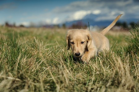 chien: A purebred Dachshund puppy walks towards the camera through large clumps of grass on a late winter day  Focus is on the puppy