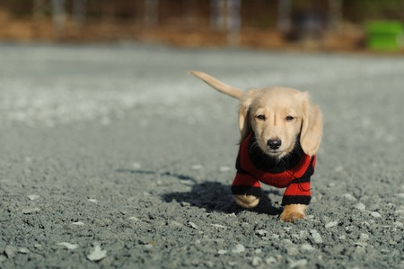 An eleven week old Dachshund puppy walks on loose gravel towards the camera  He is wearing a black and red striped sweater  photo