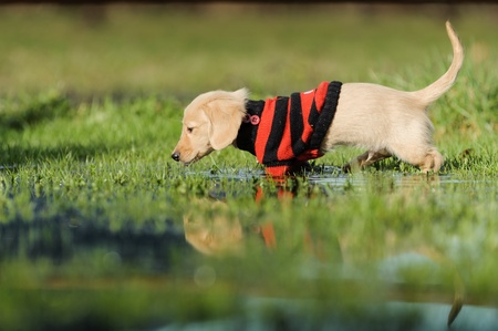 chien: An eleven week old Dachshund puppy walks in a large puddle  He is perpendicular to the camera wearing a red and black striped sweater  His tail is sticking up and his reflection can be seen