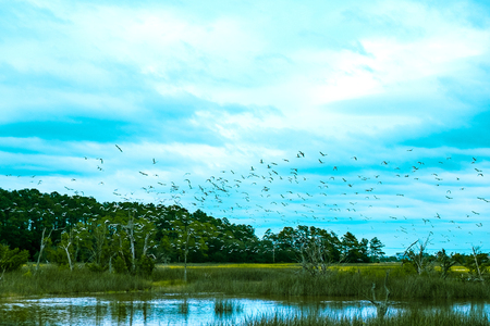 a group of seabirds fly in a flock over the salted water marsh of south carolina Stock Photo