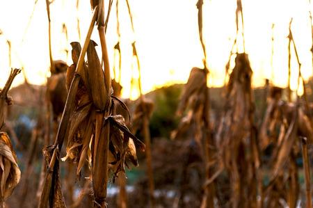 dead cornfield during winter season abandoned at sunset Banco de Imagens